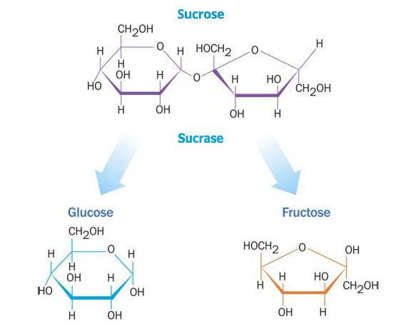 sucrose_into_glucose_fructose.jpg
